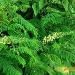 Khổ sâm cho rễ – Vị thuốc chuyên trị bệnh Lỵ