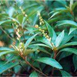 Công dụng chữa bệnh của cây khổ sâm cho lá