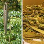 Chữa bệnh Eczema bằng cây núc nác