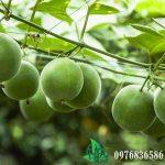 Quả La Hán là thảo dược như thế nào?