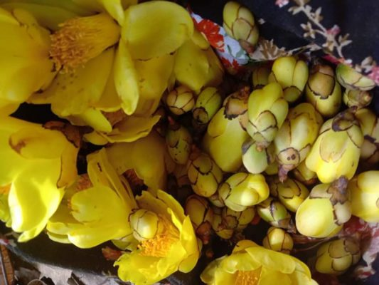 Trà hoa vàng hỗ trợ điều trị tiểu đường như thế nào?