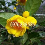 Trà hoa vàng Ba Chẽ Quảng Ninh