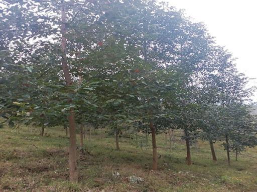 Công dụng ưu điểm cây giống Xá Xị