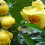 Mua trà hoa vàng tại Hà Nội