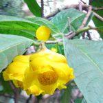 Mua cây giống trà hoa vàng tại Hà Nội