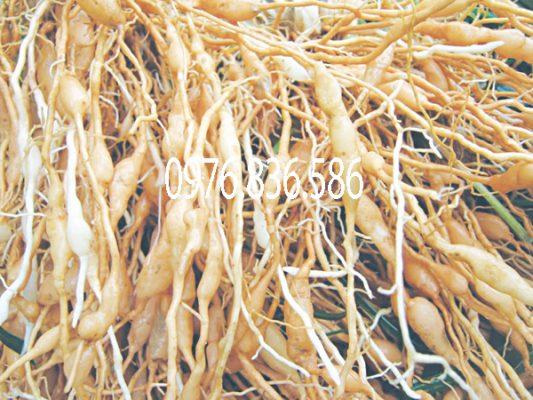 Tìm hiểu về cây mạch môn