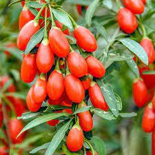 Câu kỷ tử được trồng nhiều ở Trung Quốc
