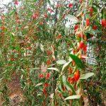 Cách trồng cây Câu kỷ tử cho năng suất cao
