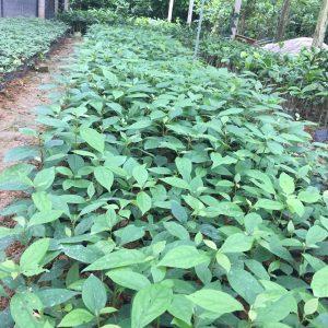 Hướng dẫn kỹ thuật trồng cây giống Xá Xị