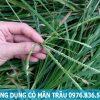 Công dụng cỏ mần trầu thanh nhiệt giải độc gan
