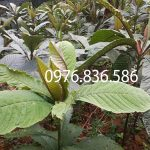 Bài thuốc hỗ trợ điều trị viêm họng hiệu quả từ cây lá khôi