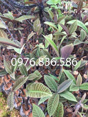 Bài thuốc hỗ trợ điều trị ghẻ lở từ cây khôi nhung tía