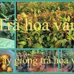 Mua cây giống trà hoa vàng ở Nghệ an