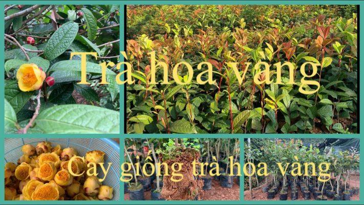 Mua cây giống trà hoa vàng tại Nghệ an