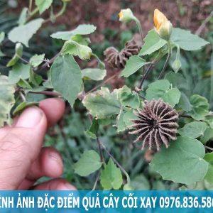 Hình ảnh đặc điểm quả cây cối xay