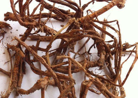 Rễ cây mặt quỷ trị mụn nhọt, mẩn ngứa