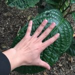 Cách phân biệt cây giống trà hoa vàng Hakoda và Phanii