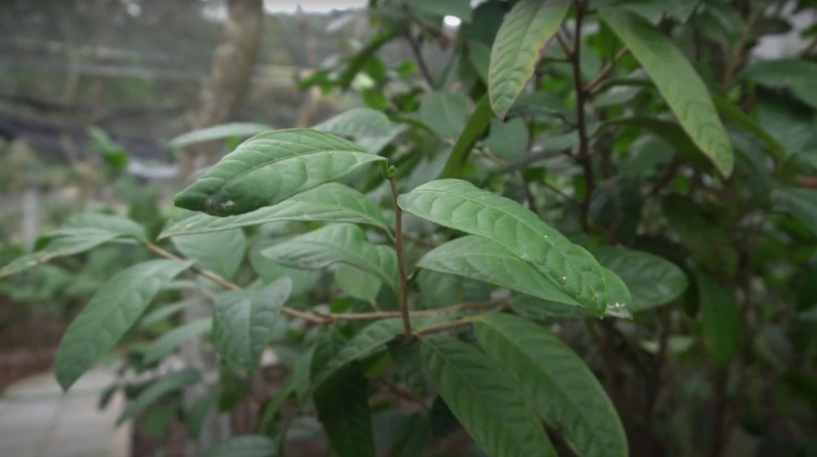 Các loại trà hoa vàng Tam Đảo