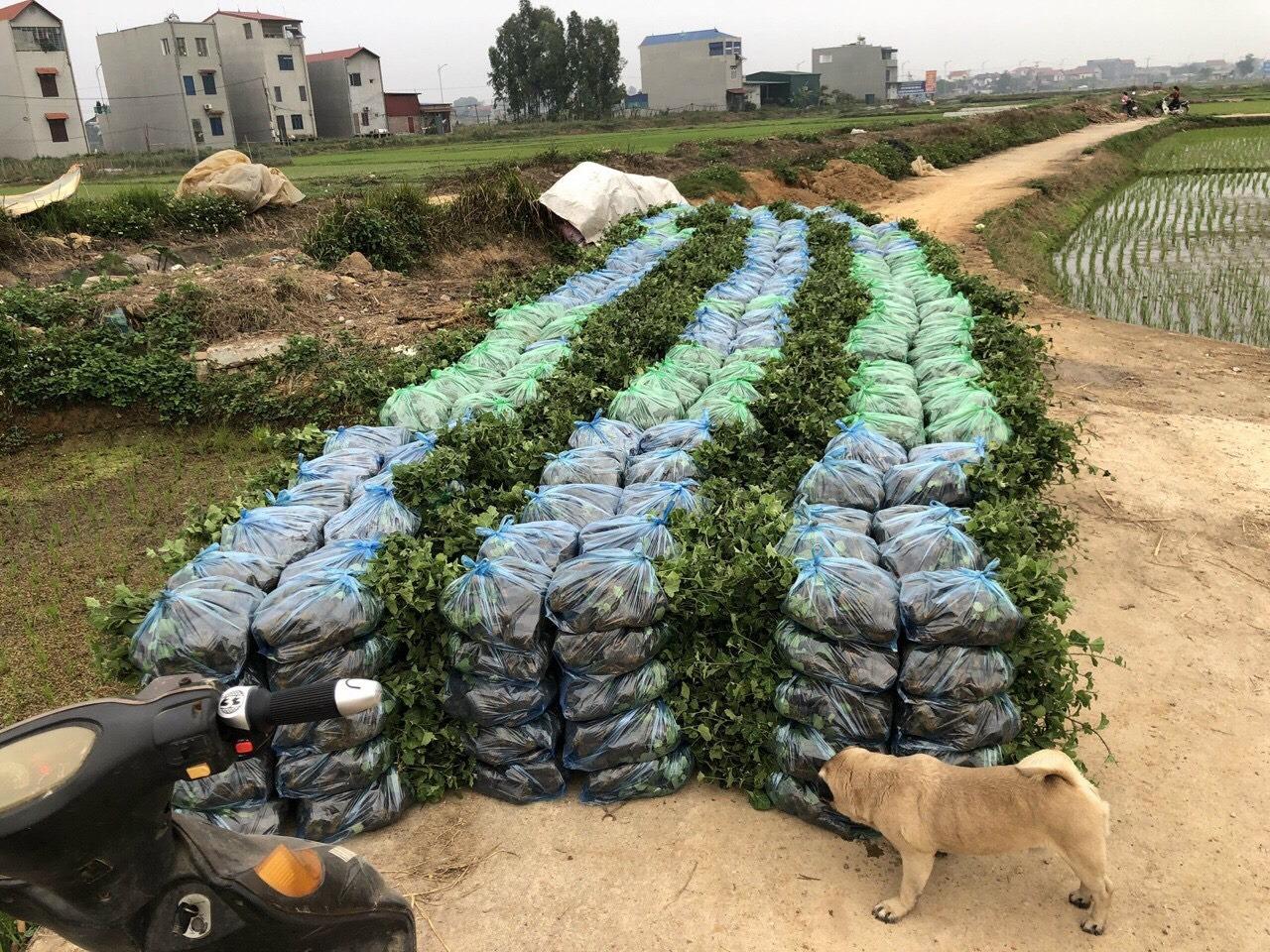 Kỹ thuật trồng cây giống cà gai leo