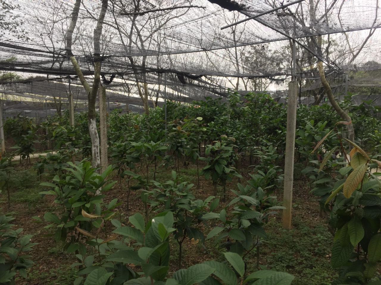 So sánh cây trà hoa vàng Petelotii và cây trà hoa vàng Phanii