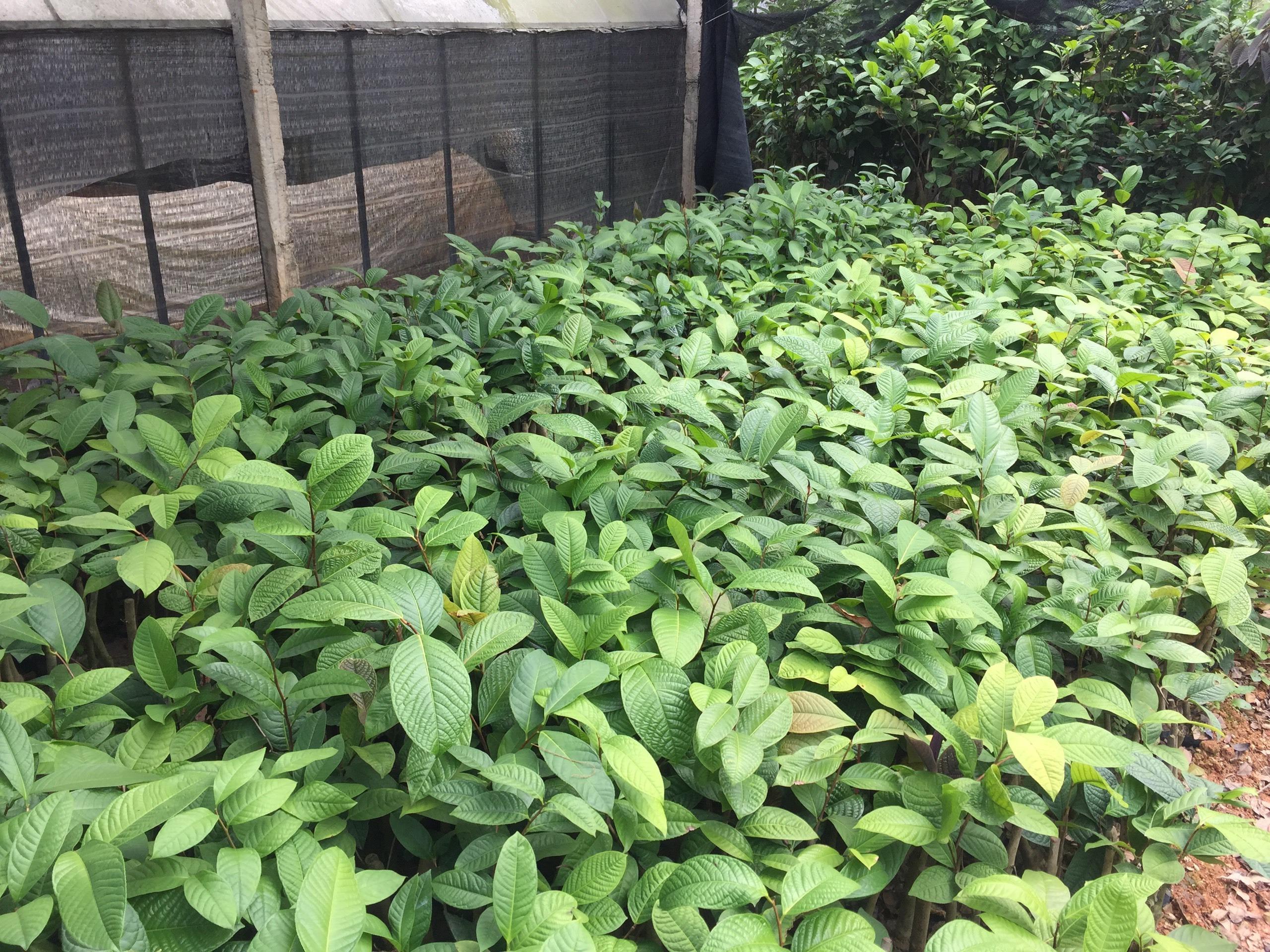 Giống trà hoa vàng Phanii