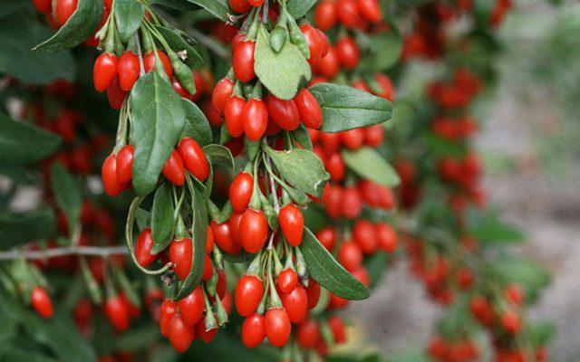 Kỷ tử là loại quả mọng chứa nhiều dinh dưỡng tốt cho sức khỏe
