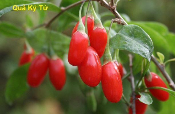 Kỷ tử chứa nhiều vitamin và axit amin tốt cho cơ thể
