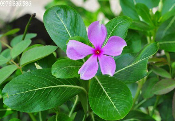 Bài thuốc từ cây dừa cạn hỗ trợ điều trị zona thần kinh