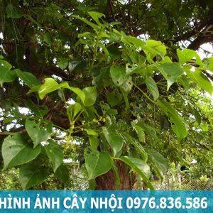 Hình ảnh cây nhội