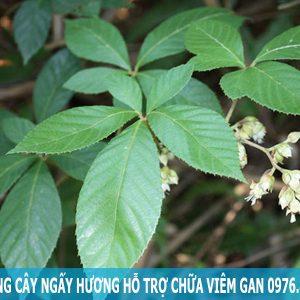 Tác dụng cây ngấy hương hỗ trợ chữa viêm gan