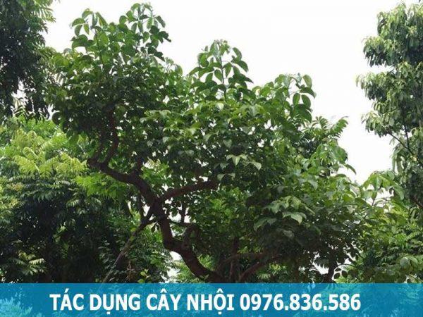 Tác dụng cây nhội hỗ trợ chữa tiêu chảy
