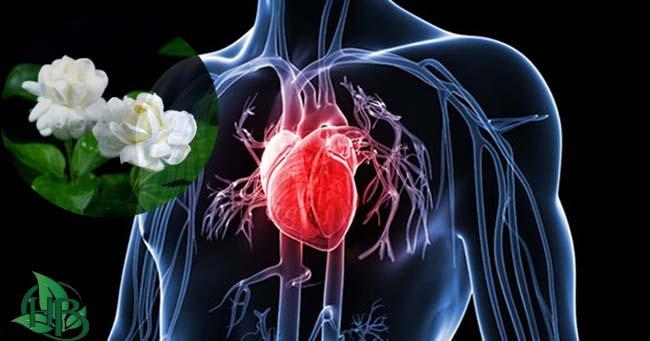 trà hoa nhài bảo vệ tim mạch