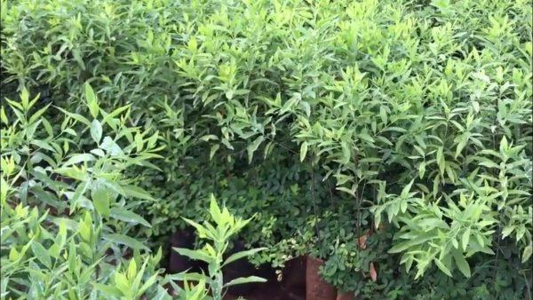 Chi tiết cây giống Đàn Hương trăng Ấn Độ