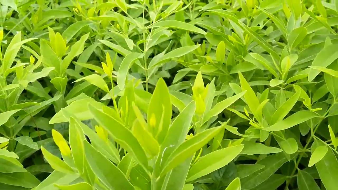 Mua cây giống Đàn Hương trăng Ấn Độ ở đâu