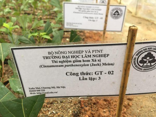 Mua cây giống Gù Hương Xá Xị Tam Đảo