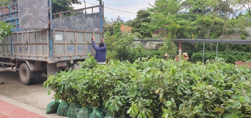 Kỹ thuật trồng giống cây Gù Hương Xá Xị Tam Đảo