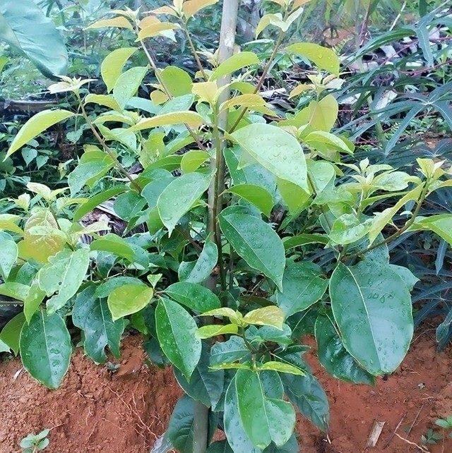 Phân tích cây giống Gù Hương Yên Bái
