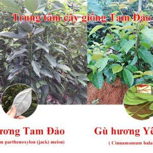 Phân tích cây giống Gù Hương Xá Xị Tam Đảo