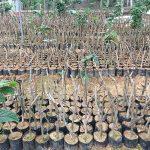 Cây giống trà hoa vàng Hakoda