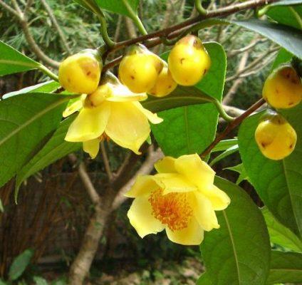 Giới thiệu lịch sử phát triển cây trà hoa vàng Trung Quốc