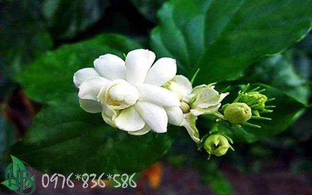 bài thuốc từ trà hoa nhài