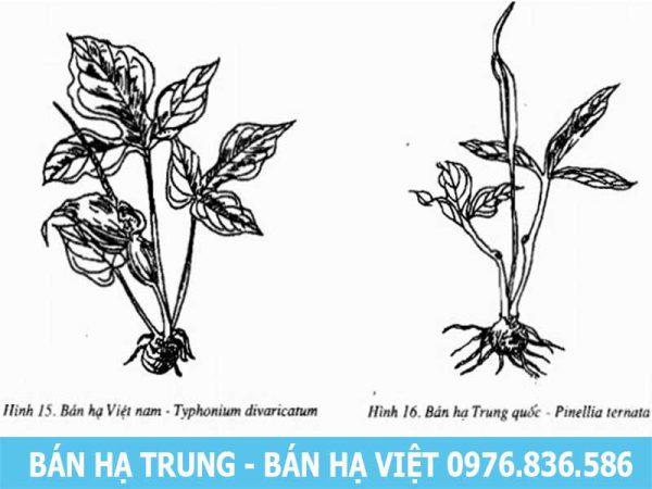 Bán hạ Trung Quốc và Bán hạ Việt Nam