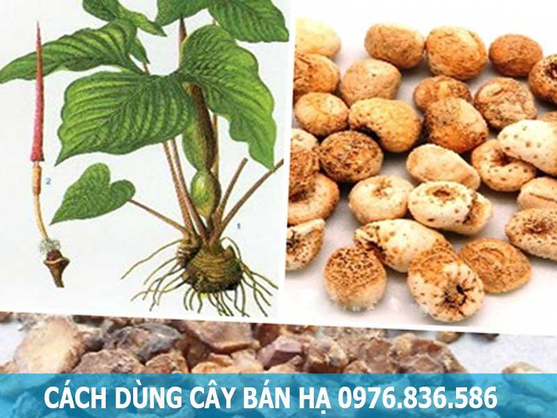 Cách dùng cây Bán hạ Việt Nam