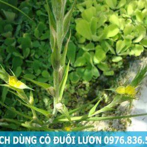 Cách dùng cỏ đuôi lươn hiệu quả