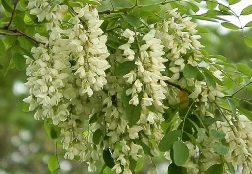Hoa hòe có màu trắng, mùi thơm đặc trưng