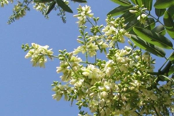 Hoa hòe có màu trắng hoặc vàng nhạt