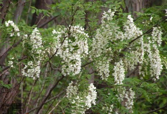 Hoa hòe trong tự nhiên