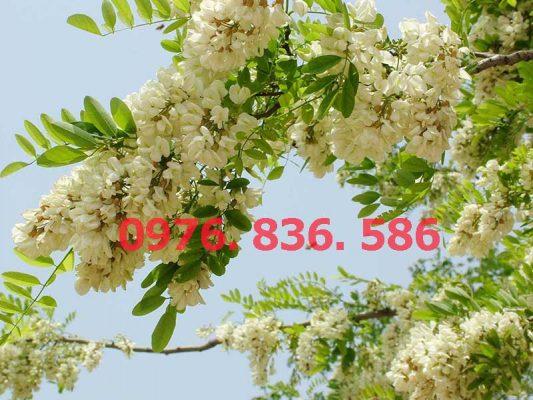 Hoa hòe có màu trắng xanh, ra thành chùm ở đầu cành