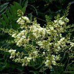 Một số món ăn ngon bổ dưỡng từ hoa hòe