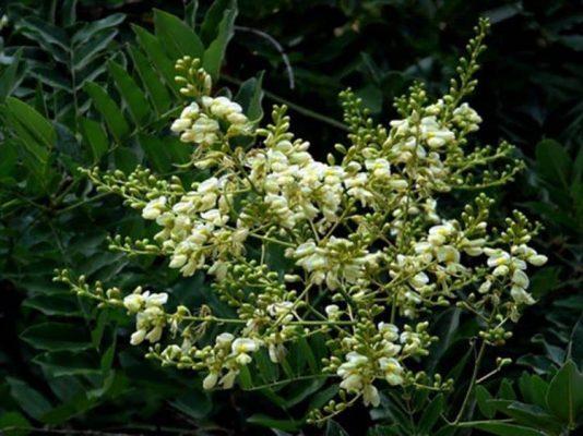 Hoa hòe dùng trong các món ăn bổ dưỡng